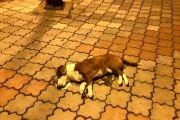 U centru grada otrovani psi #Paraćin